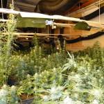Marihuana-Indoor-Plantage / Bild: ZFA-DD